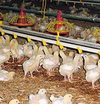 «Ставропольский бройлер» увеличил объемы производства мяса птицы