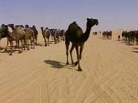Горбатая красавица получила титул «Мисс верблюд»