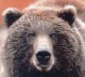 Нижегородская область: запрещена охота на самок кабана и медведя