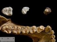 Сравнение найденных зубов с челюстью современной гориллы