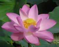 Солнечный цветок с божественной родословной
