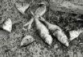 Омск: свиньи погубили рыбу