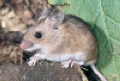 Магадан: грызуны проверяют игрушки на фенол
