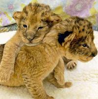 Специалисты ищут маму бездомных тигрят