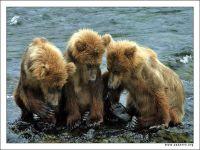 Камчатка: медведь загнал женщину на дерево