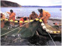 Приморье: браконьеры истребляют запасы северной и гребенчатой