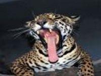 Трагедия в Хасанском районе Приморья: убита  самка леопарда