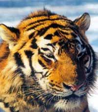 В Приморье тигр держал в страхе все село неделю