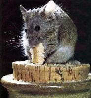 Кипр одолели мыши и тараканы. Кипр одолели мыши и тараканы