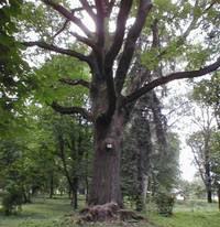 В Пензе дуб на «тропе здоровья» возвращает людей к жизни и