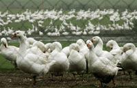 Птичий грипп убил почти миллион птиц на юге России