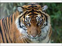 «Тигры навсегда» будут спасены