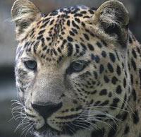 «Роза Хутор» поможет вернуть на Кавказ леопарда