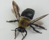Найдена самая древняя пчела, ей 100 миллионов лет