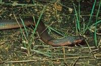 В Индонезии обнаружена змея-хамелеон