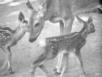 В Приморье копытные животные на грани вымирания
