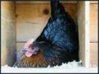 В Приморье от птичьего гриппа привито 95 тысяч домашних птиц