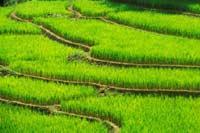На полях Америки появляется новая культура - рис,