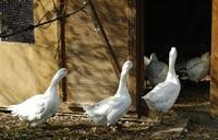 Птичий грипп снова пришёл на Украину
