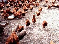 Москвичей призывают не покупать мясо птицы с рук