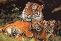 Амурский тигр под угрозой вымирания