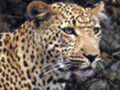 Леопард методично пожирает обитателей посольства