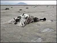 В мире осталось менее тысячи особей кулика-лопатеня и охотского