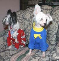 Голые собачки предпочитают эксклюзивную одежду