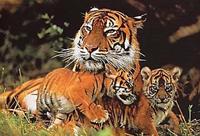 Владивосток отметит День Тигра