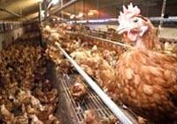 Впервые в Лаосе птичьим гриппом заболел человек