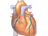 Лекарство от рака убивает сердце