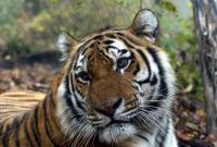 Амурский тигр. Фото: WWF, Владимир Филонов