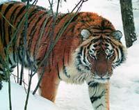 Амурский тигр. Фото: WWF