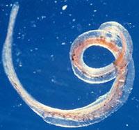 Паразитические черви избавят от рассеянного склероза
