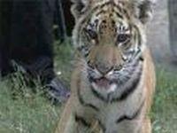 Зов Тигра услышан в Москве
