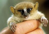 В лесах Мадагаскара обнаружен лемур-карлик