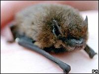 В Вестминстерском аббатстве охраняют летучих мышей