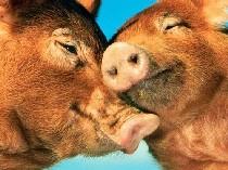 Китайские ученые разводят светящихся свиней