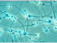 Стволовые клетки превратились в сперму