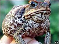 Австралийская армия уничтожит тростниковых жаб