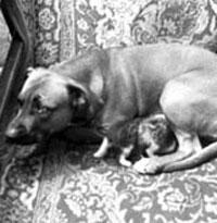 Устрашающая бойцовская собака выкормила двух осиротевших котят