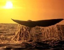 Новый атракцион в США – наблюдение за мигрирующими китами