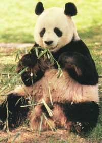 Недобросовестные экологи? Численность панды выше, чем считалось