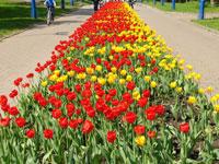 Россия ограничила ввоз голландских цветов
