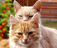 Кошки - потенциальные биотеррористы (фото Kate_F)