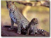 Леопарду остается все меньше места на Земле леопарда