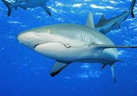 Ради защиты акул учёные стали шпионами