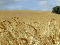 Пшеницу заставят саму производить удобрения