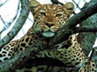 Олимпийским символом Сочи мог бы стать леопард