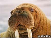 Моржи - достаточно крупные животные, достигающие двухтонного